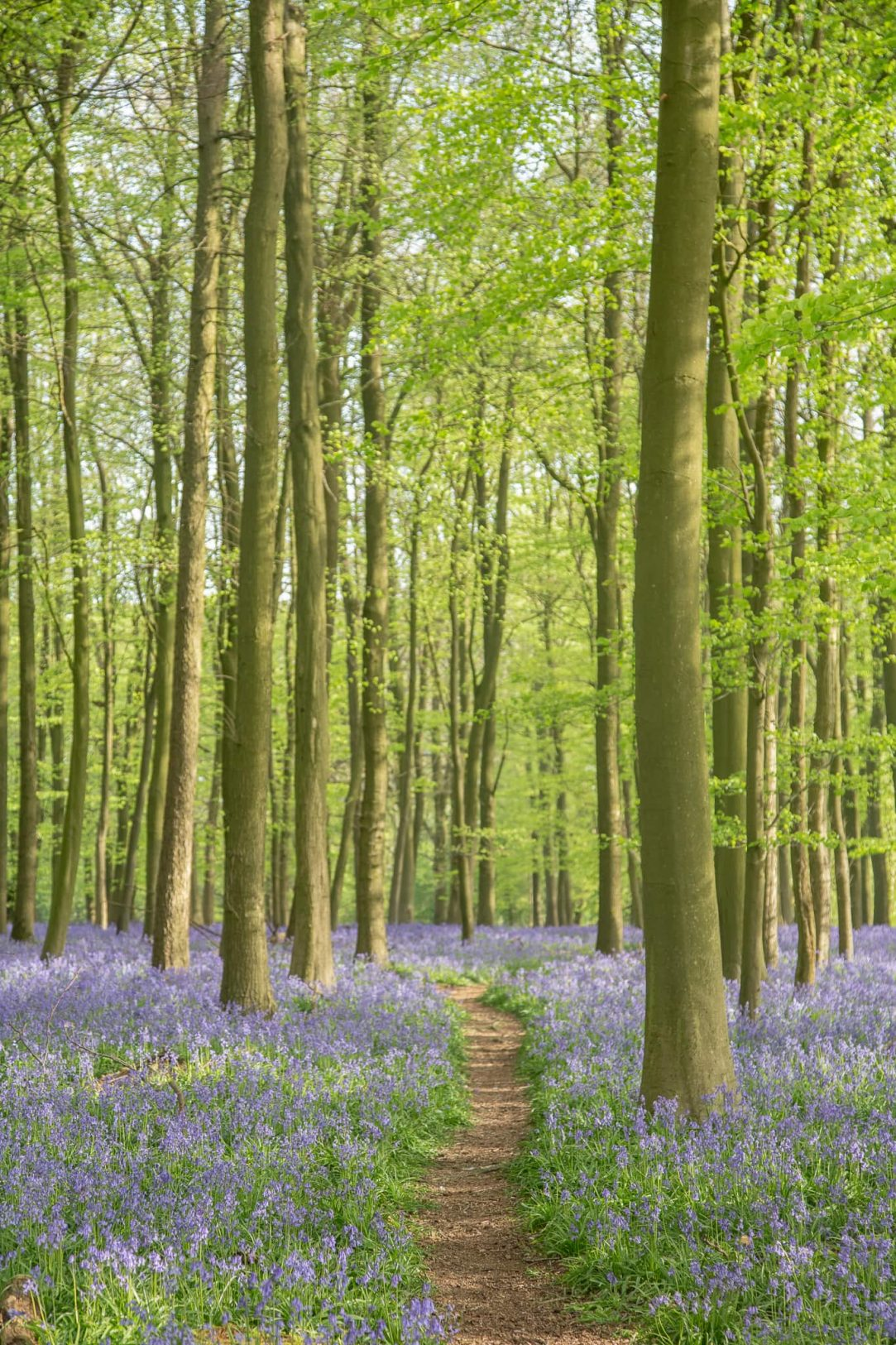 Ashridge Bluebell Photos