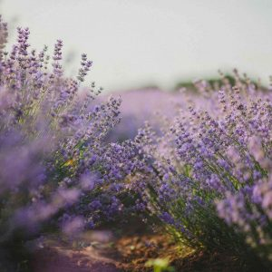 Lavender Photography